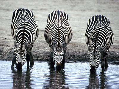 zebra_stripes_poem