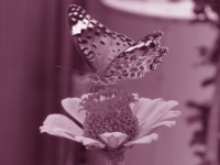 butterfly-poems-1